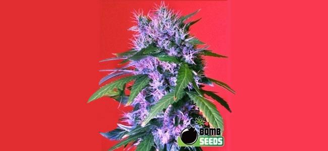 Berry Bomb Bomb Seeds