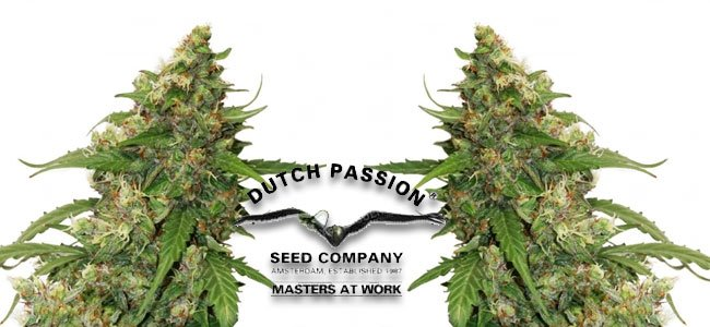 CBD Auto Compasison Lime Dutch Passion