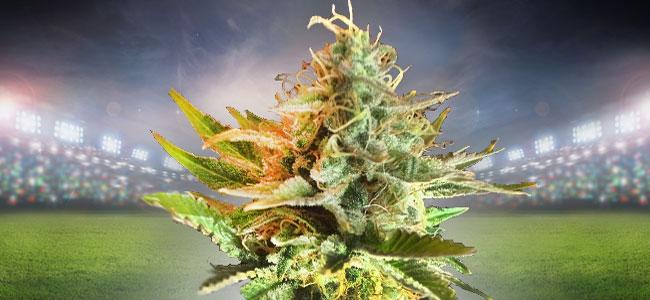 OG Kush Cannabis