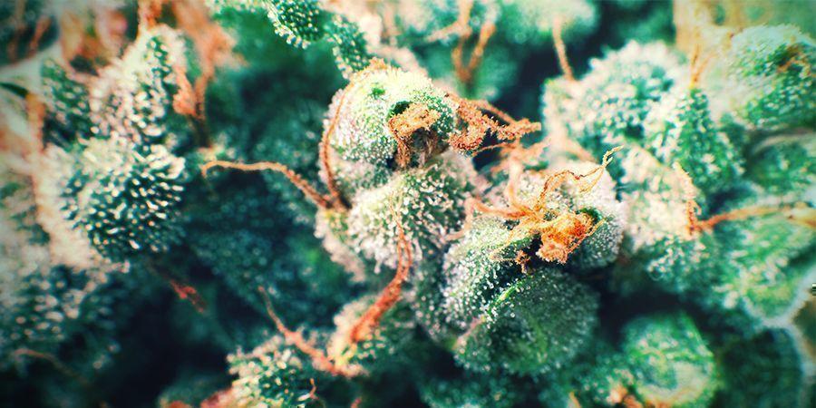Cannabis Goldene Haare
