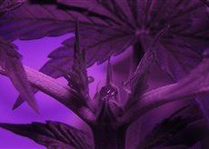Cannabis close up