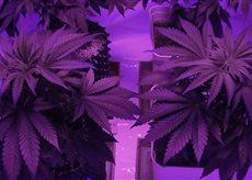 Cannabis setup