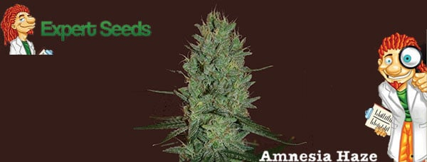 Amnesia Haze Expert Seeds