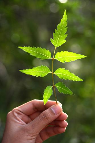 how to grow neem plant