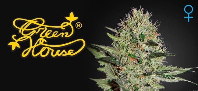Exodus Cheese Autoflowering Greenhouse