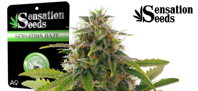 Sensation Haze Sensation Seeds