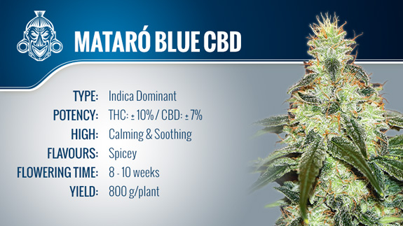 Mataró Blue CBD (Kannabia) fem.