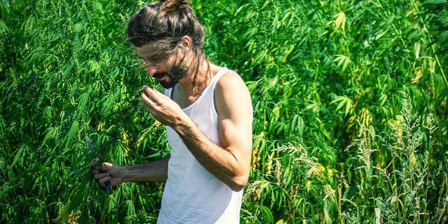 The strong smell of cannabis