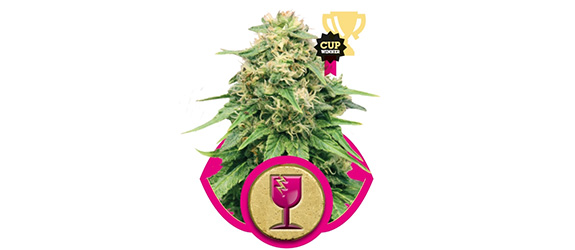 CRITICAL – ROYAL QUEEN SEEDS