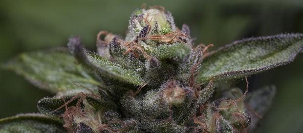 Cime di Purple Kush