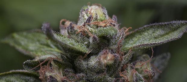 Purple Kush bud
