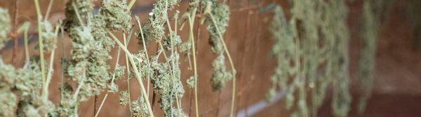 Cannabis essiccazione