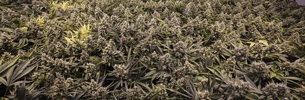 Cannabis Blütenbildung