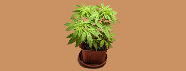 Vegetative Hybrid-Cannabis