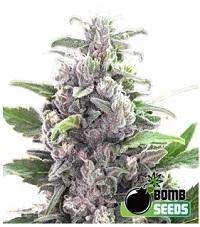 THC Bomb