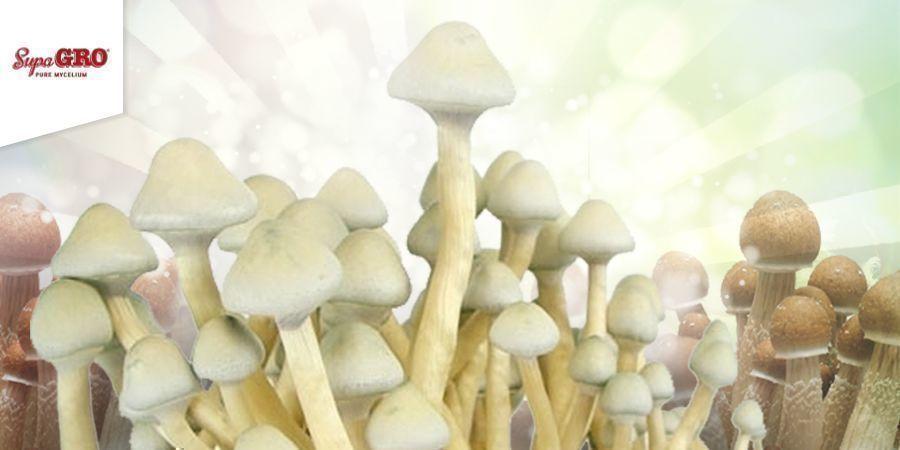 Wie Man Die Supa Gro (100% Mycelium) Zuchtsets Verwendet