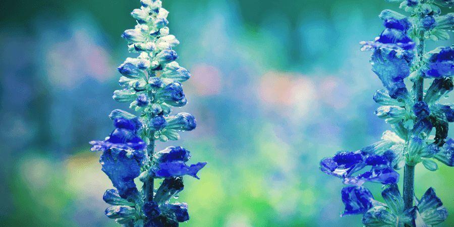 How To Use Salvia divinorum?