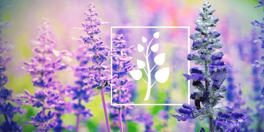Salvia: Alles Was Du Wissen Musst