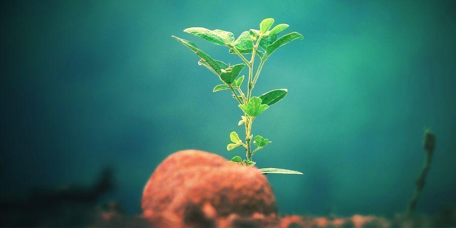 Kratom Cultivation