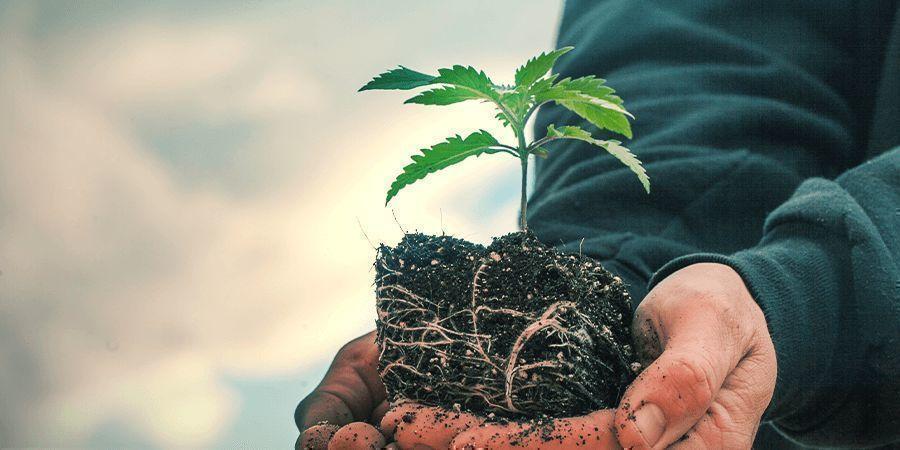 Sativa Vs. Indica: Der Unterschied Im Wachstum