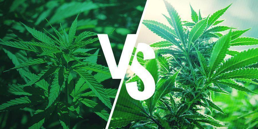 Sativa vs. Indica: Wirkungen