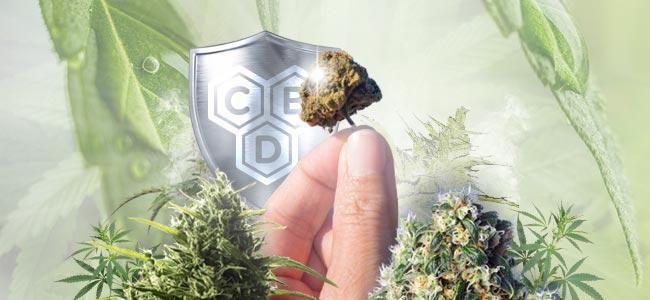 CBD-Rich Cannabis Strains