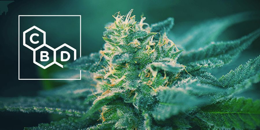 CBD-Rich Cannabis Strains