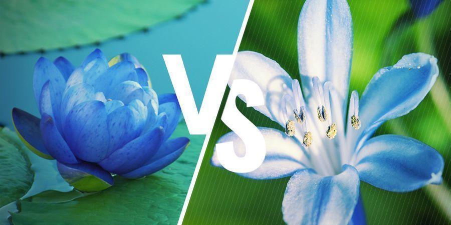 Blaue Lotus: Nahe verwandte Pflanzen