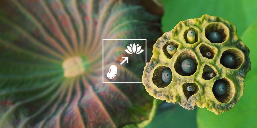 How To Grow Blue Lotus