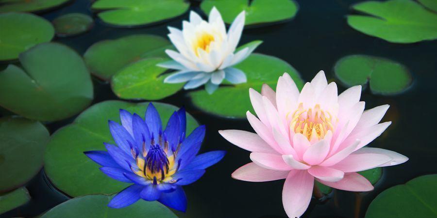 Andere Mitglieder der Lotus-Familie