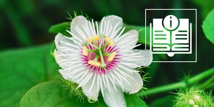 Passionflower: Everything You Need To Know