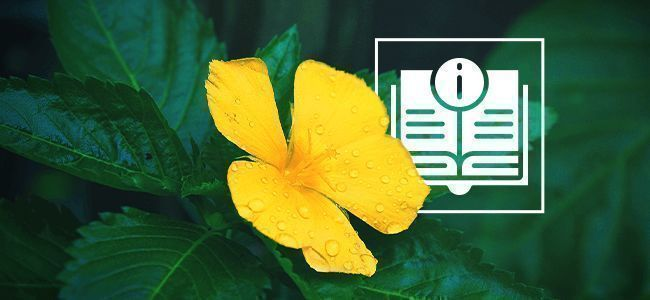 Damiana: Everything You Need To Know