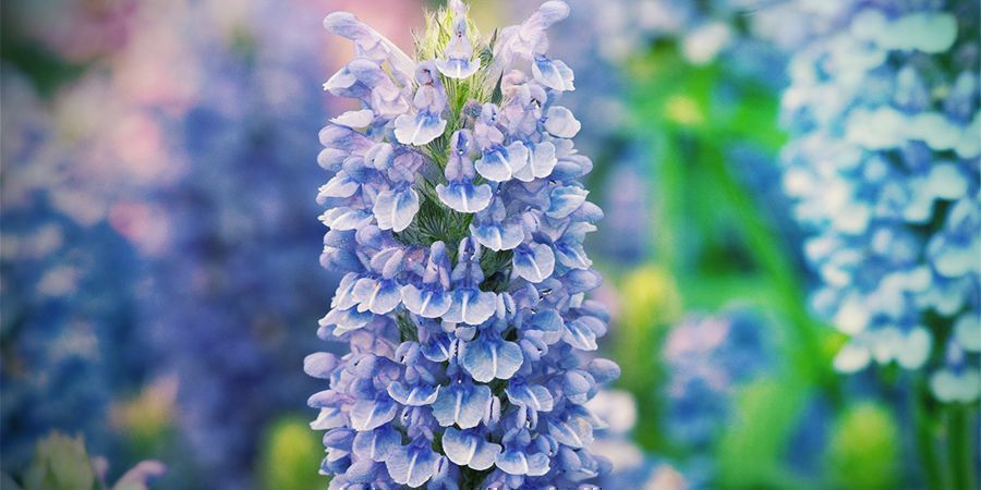 Botany Catnip