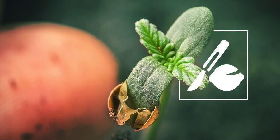 Wie Man Alte Cannabis Samen Zum Keimen Bringt