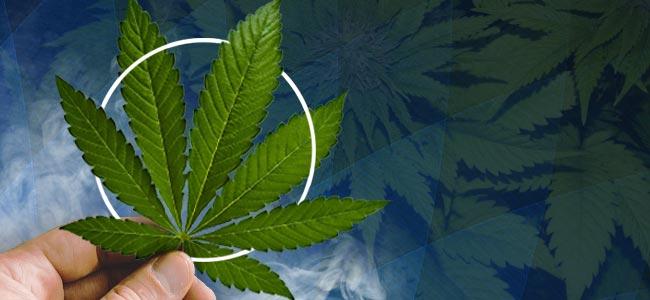Indica Cannabis Leaf