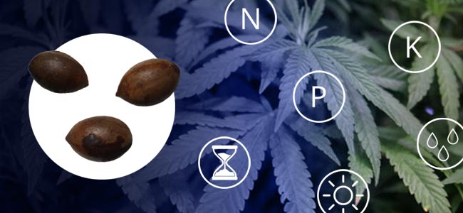 How To Grow An Indica