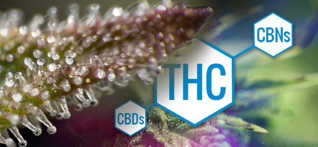 Trichomes: Changes In Marijuana Chemistry
