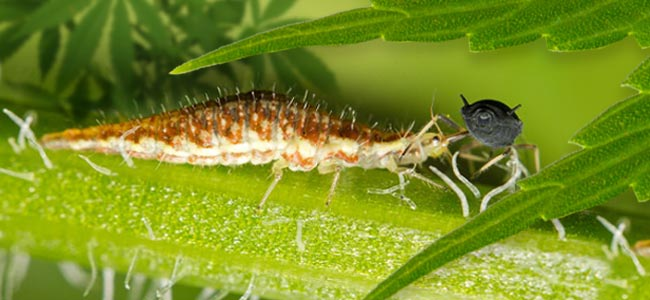 Lacewing Larva Eats Aphid