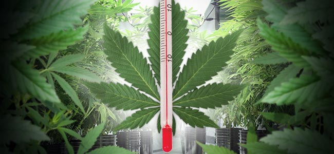 Temperature In The Cannabis Grow Room