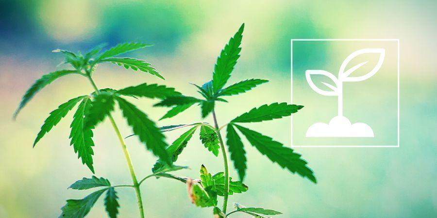 Was sind Cannabis-Setzlinge und wie wachsen sie?