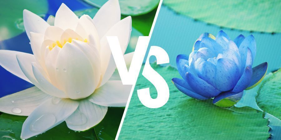 WHAT IS THE DIFFERENCE BETWEEN WHITE LOTUS AND BLUE LOTUS?
