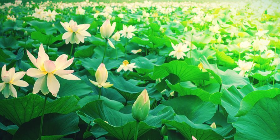 WHAT IS WHITE LOTUS?