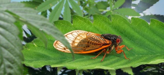 Leaf Hopper / Cicada