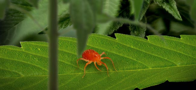 Spider Mite