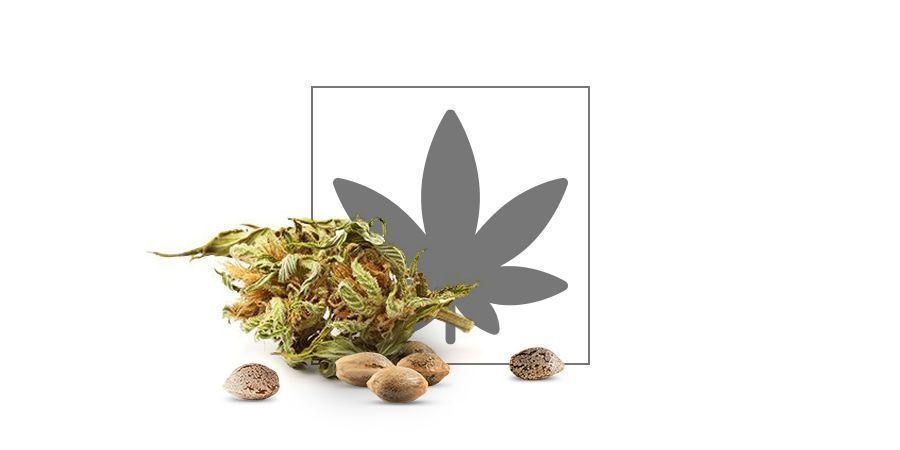 catalog of cannabis seeds