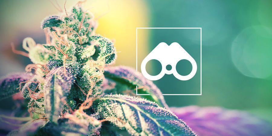 Suche Nach Cannabis-Phänotypen