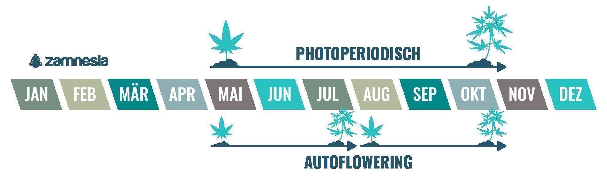 Cannabis ist eine einjährige Pflanze