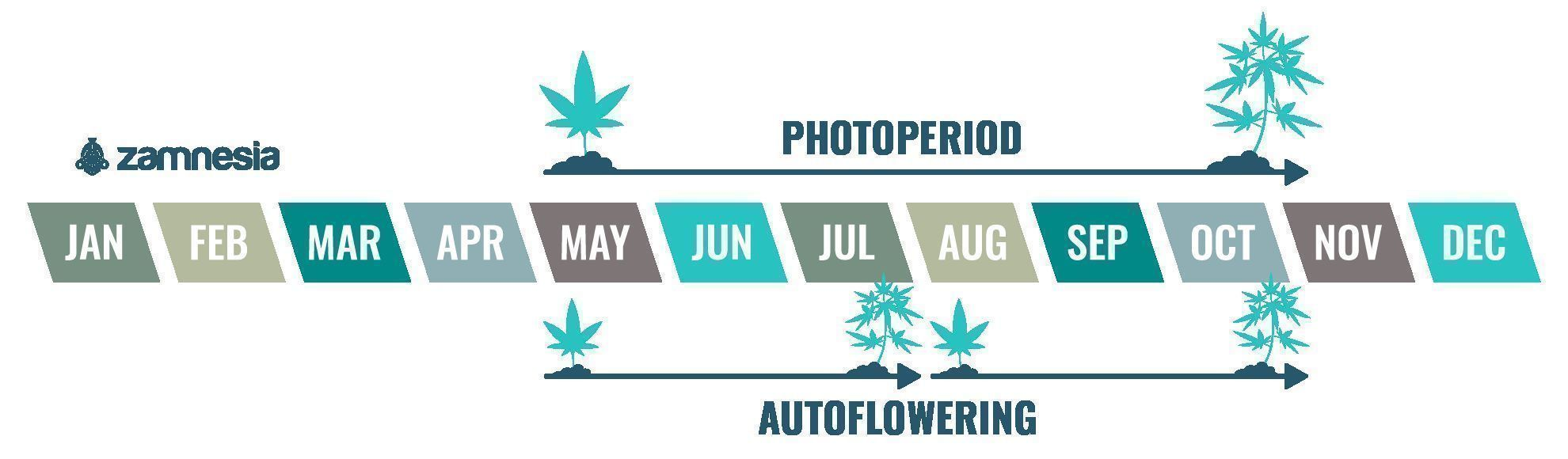 Cannabis is an annual plant
