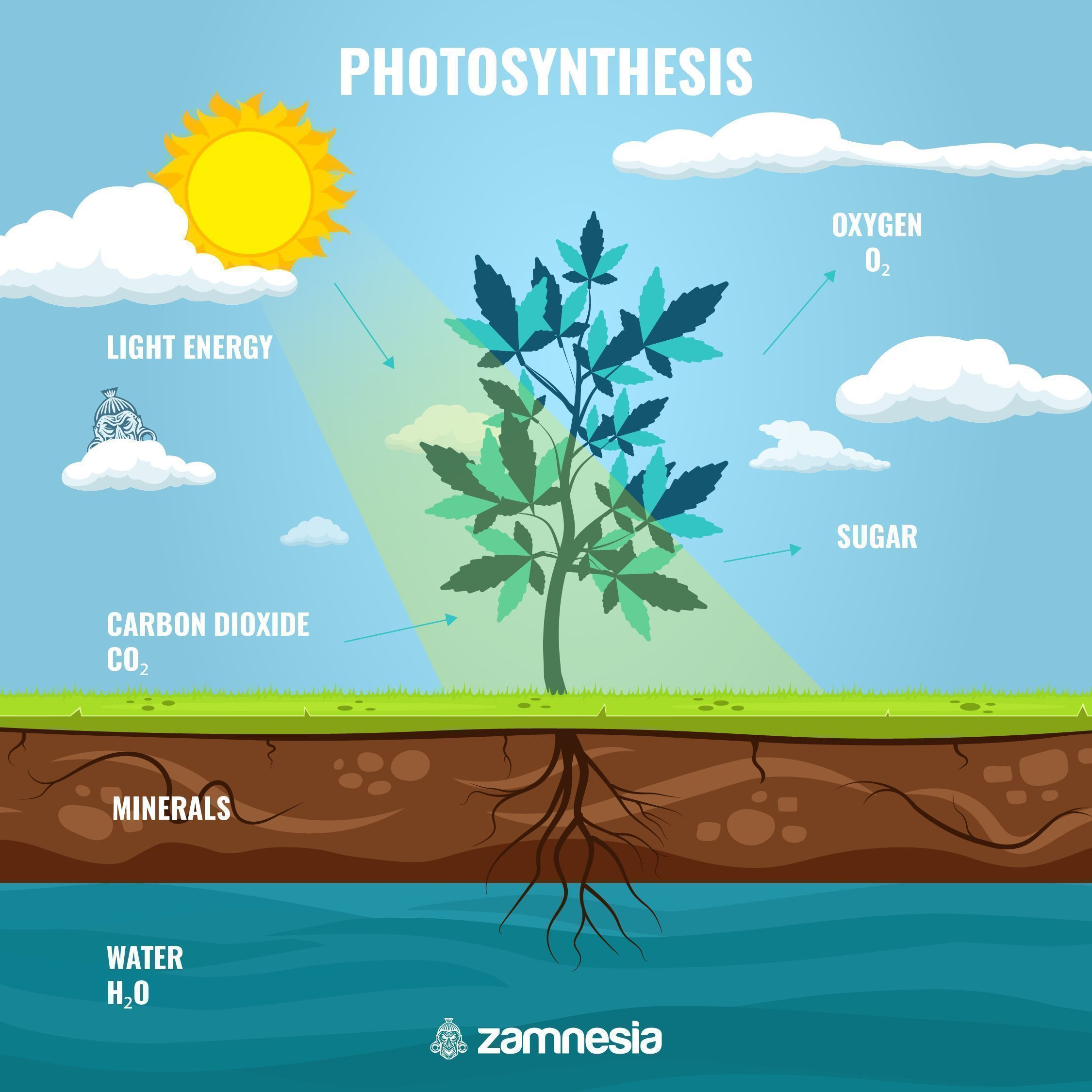 IMPORTANCE OF PHOTOSYNTHESIS FOR SUGARS IN CANNABIS