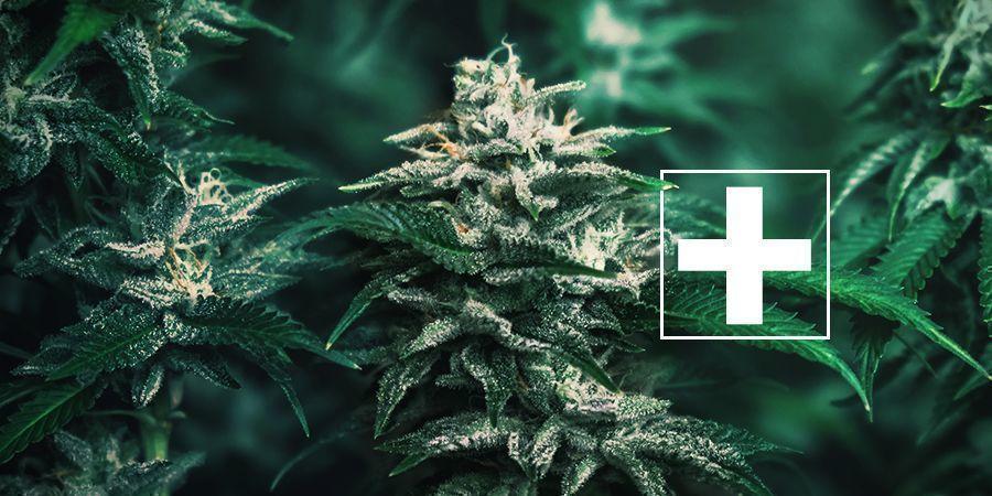 Cannabis AUTOFLOWERS — ADVANTAGES